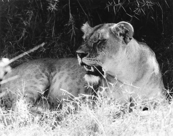 A bored lioness, yawning. Date: 1960s