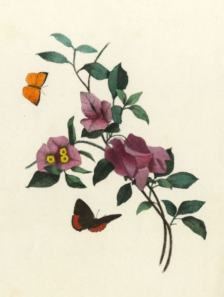 Bougainvillea spectabilis visited by butterflies Date: circa 1840