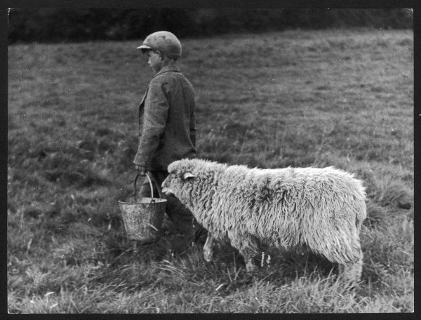 A little boy carring a metal pail of feed, is followed by a hungry sheep!