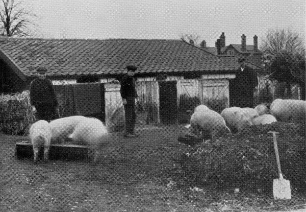 Boys tending pigs at the East Harling, Norfolk, branch of the National Institutions for Persons Requiring Care and Control, an organisation privately run by the Rev Harold Burden to house 'feeble minded' children. The site, at Kenninghall