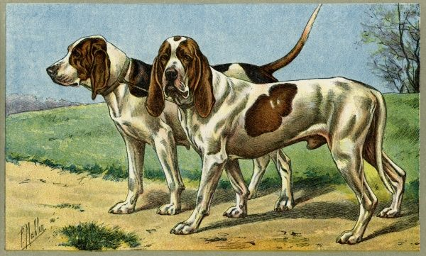 Two lugubrious-looking French hunting dogs. Date: early 20th century