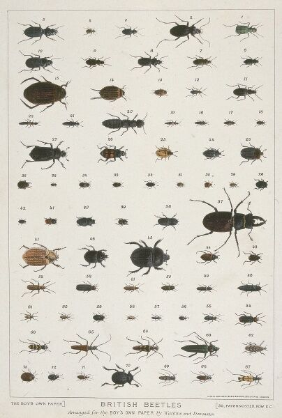 A poster of beetle specimens selected for 'The Boy's Own Paper' by Watkins and Doncaster, naturalists