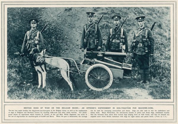 During World War One the British army copies the Belgians, and uses dogs to haul machine guns. These two muzzled dogs don't seem too happy about the idea