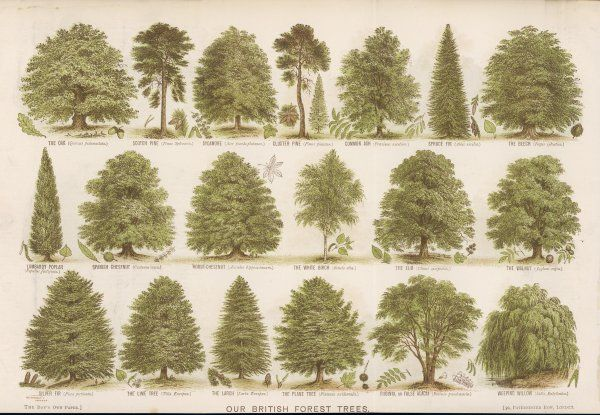 A chart of British forest trees