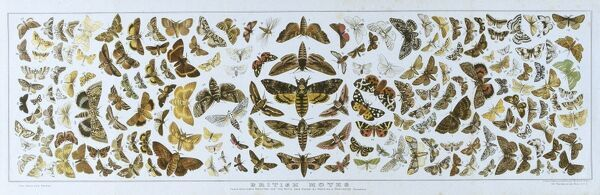 A poster of moth specimens selected for 'The Boy's Own Paper' by Watkins and Doncaster, naturalists