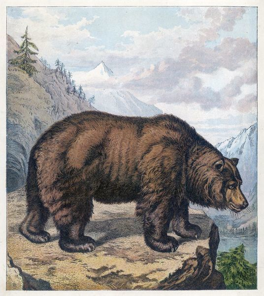 BROWN BEAR Shown on a North American cliff top