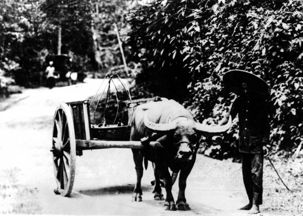 A buffalo cart in Java, Indonesia. Date: 1930s