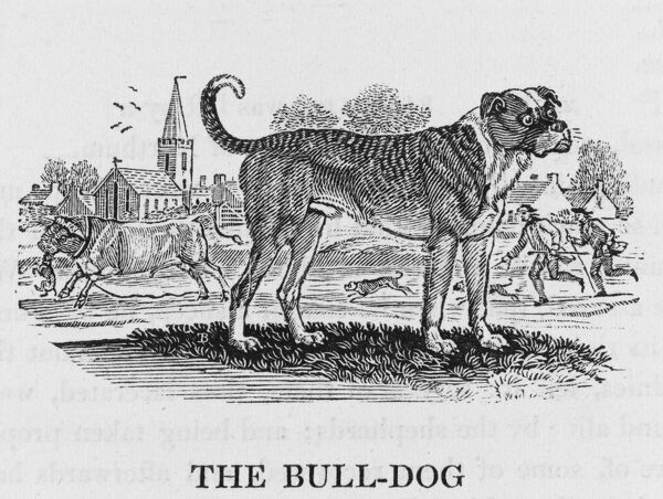 '... is the fiercest of all the Dog kind, and is probably the most courageous creature in the world' - so says Bewick