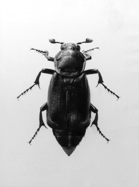 A Burying Beetle. Date: 1950s