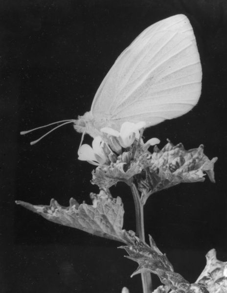 A Cabbage White butterfly resting on a flower. Date: 1950s