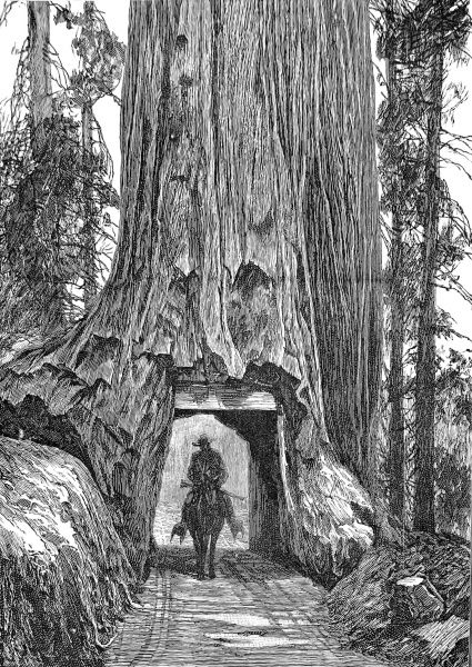 Engraving showing a cowboy and horse pass through a tunnel in a giant redwood tree, California, 1888