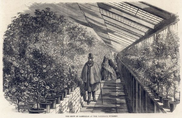 Camellias at Milne's Nursery in Vauxhall, south London