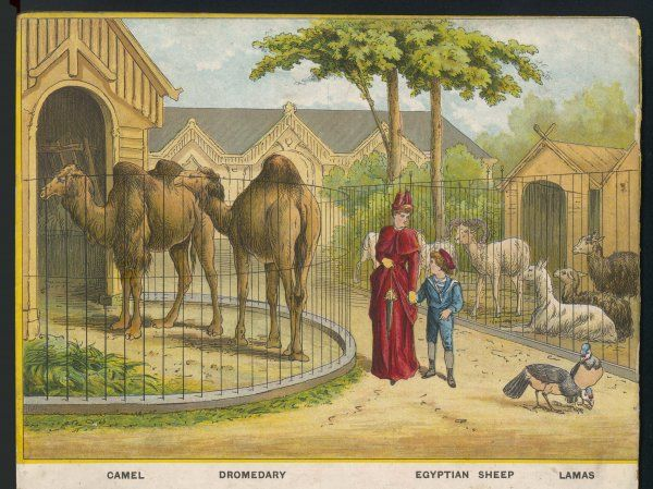 Regent's Park zoo, London Visitors admire the camels, dromedary, sheep and lamas