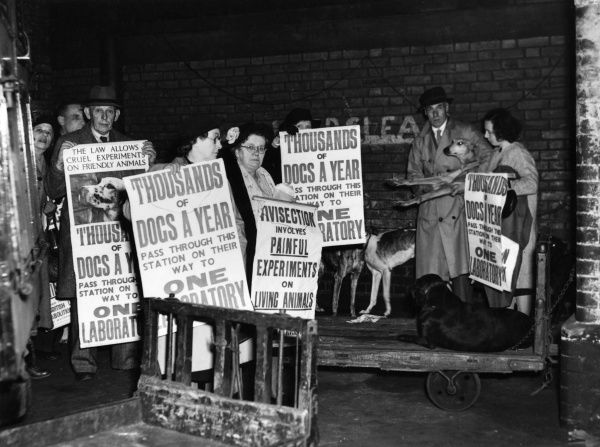 Campaigners against animal cruelty demonstrating with greyhound dogs and several placards. 1940s