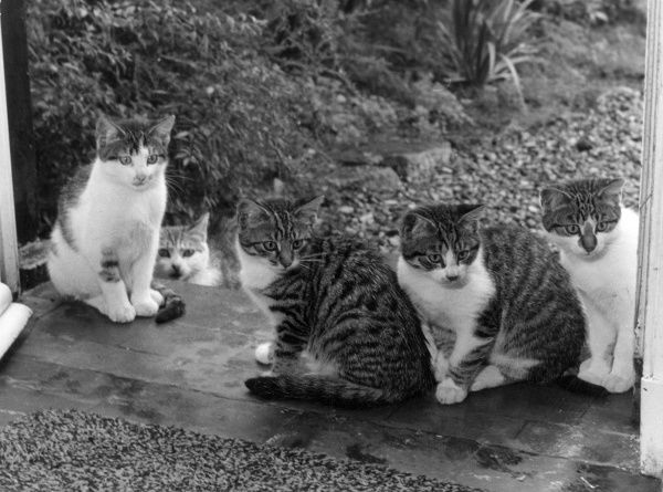 A cat and her large kittens - but which one is the mother? Date: 1960s