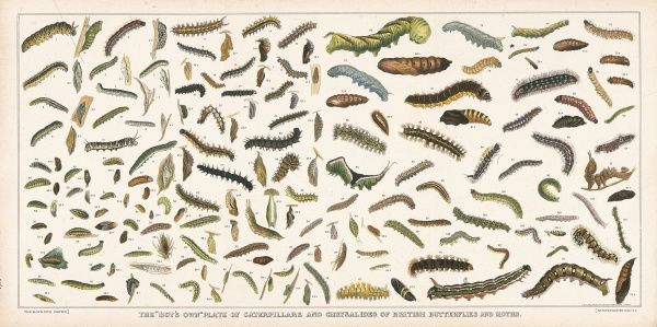 The Boy's Own plate of caterpillars and chrysalides of British butterflies and moths. From popular children's magazine, 'Boy's Own&#39