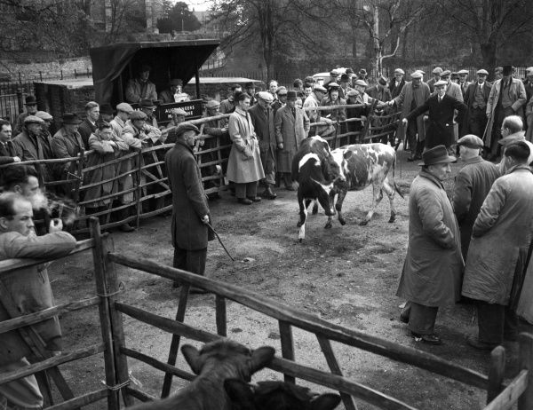 Farmers in the Sales Ring of a cattle market at Maidstone, Kent, England. Date: 1950s