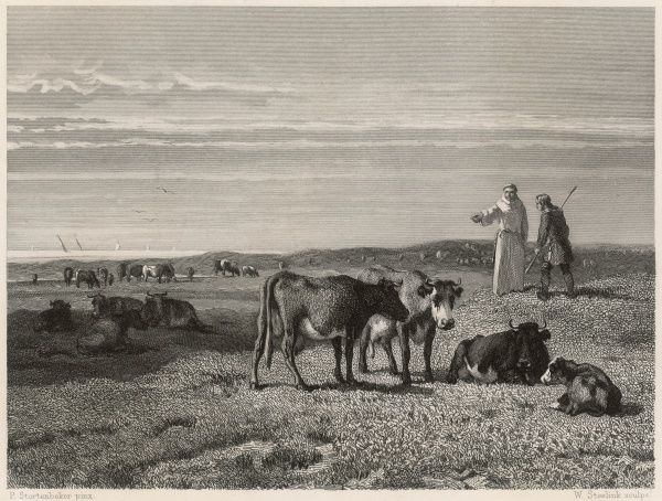 The monks of the White Heeren graze their cattle on the dunes at Middelburg