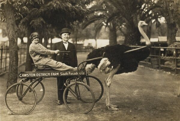 The Cawston Ostrich Farm - South Pasadena, California, USA. A large ostrich pulls a wheeled cart, containing an enthusiastic lady passenger! The boss of the farm in bowler hat stands proudly behind
