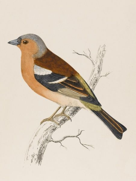 (Fringilla coelebs) Coelebs means bachelor, and refers to the bird's habit of temporary separation from its mate