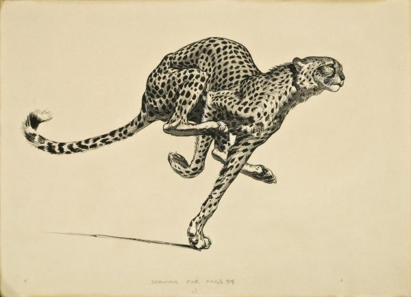 A Cheetah running at full speed. Pen, ink and wash drawing by Raymond Sheppard