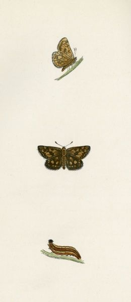 CHEQUERED SKIPPER Date: 1845