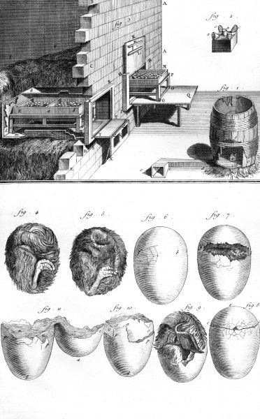 A view of a baby chick as if it was in its egg and various stages of the hatching. Date: Circa 1760