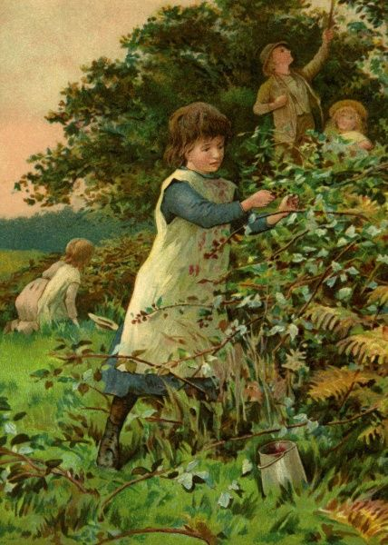 Children blackberrying. Picking blackberries in the countryside. Unattributed illustration Date: circa 1906