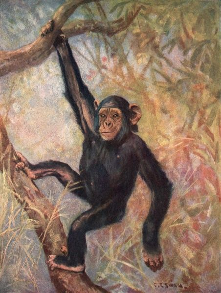 ANTHROPOPITHECUS TROGLODYTES A chimpanzee suspended from a tree