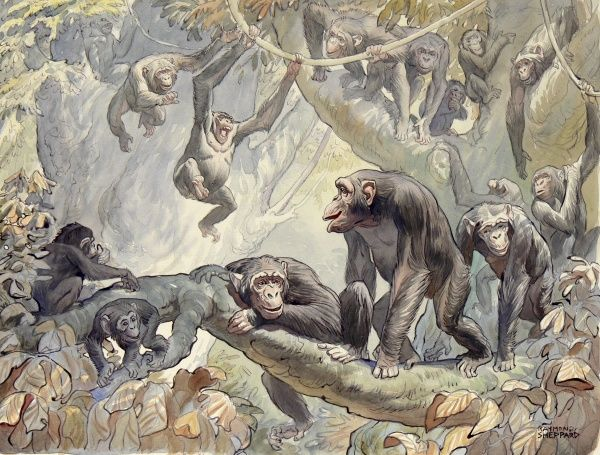 Chimpanzees in the African jungle, knuckle-walking, swinging from creepers and generally monkeying around! Painting by Raymond Sheppard