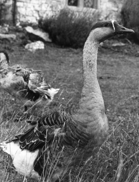 A Chinese Goose. Date: 1950s