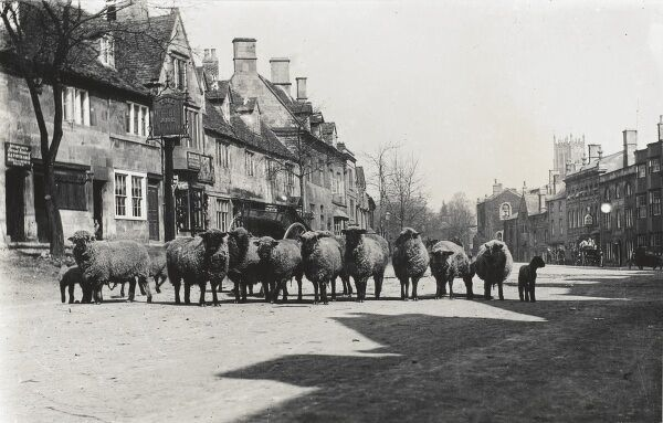 A flock of sheep outside the George & Dragon Inn in the High Street at Chipping Campden, Gloucestershire (in the Cotwolds)