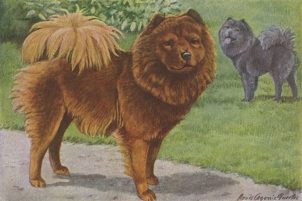 Two Chow Chow dogs standing in a garden. The one in the foreground is red colour, the other is black. Date: 1919