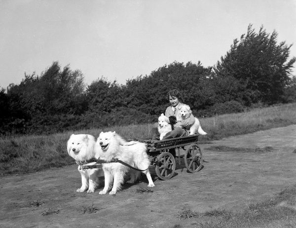 Two chows pulling a girl and two puppies on a cart! Date: early 1930s