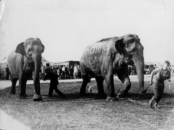 A crowd watches a couple of poor circus elephants being pulled across a field by their trunks. Date: 1930s