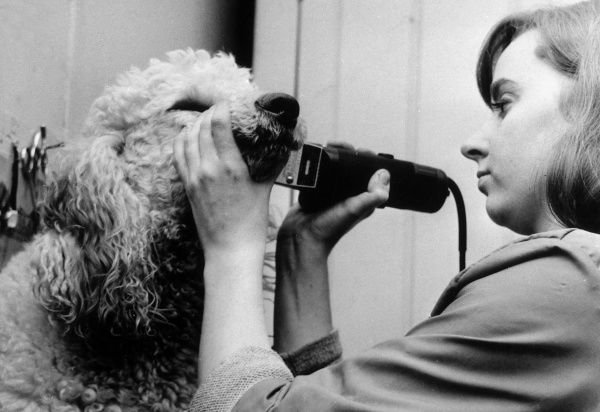 The dog groomer clips the hair from around the white poodle's face. Date: 1960s