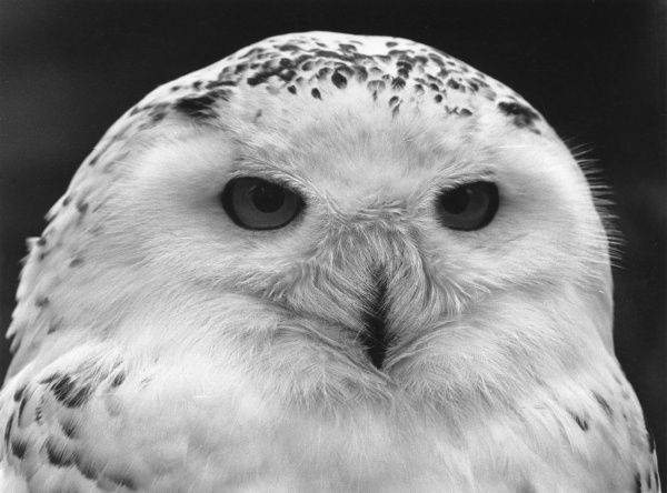 A close-up of a Snowy Owl in Paradise Park, a wildlife sanctuary in Hayle, Cornwall