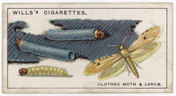 The clothes moth (tinea pelleonella) and its larvae