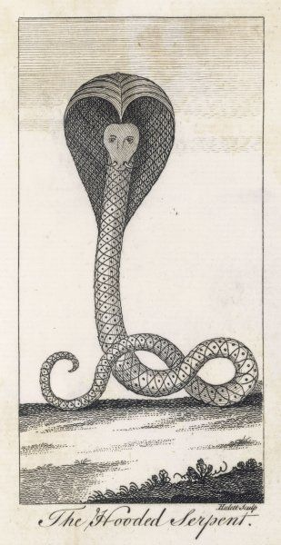 The Hooded Serpent. A cobra puffs out his hood to ward off any preditors