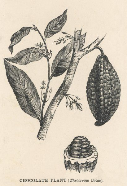 Cocoa (or chocolate) plant bearing fruit THEOBROMA CACAO