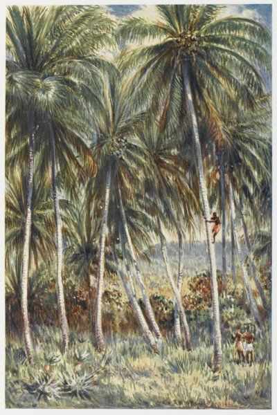 A native Australian climbs a coconut palm in northern Queensland