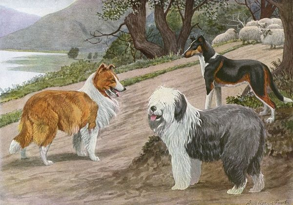 Collie, Old English Sheep Dog and Smooth Collie, in a natural scene with sheep in the background Date: 20th century