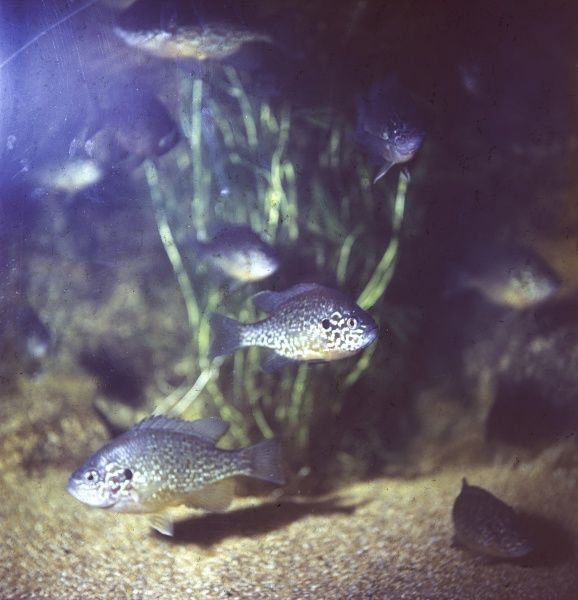 The common Sunfish (Lepomis species) in an aquarium. Date: 1967
