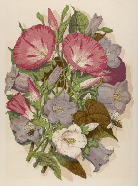 Pink CONVOLVULUS (Bindweed) & blue & white CAMPANULA MEDIUM Canterbury Bell) depicted with bees