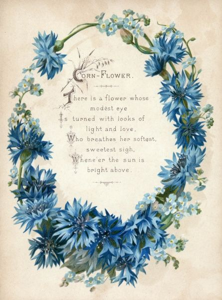 Cornflower - The rich shades of blue, much sought after both for gardens and flower arrangements. Date: c 1880