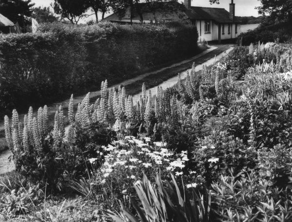 A fine floral border to a cottage garden at Patmore Heath, Hertfordshire, England, with its masses of lupins, foxgloves, irises and daisies. Date: 1950s