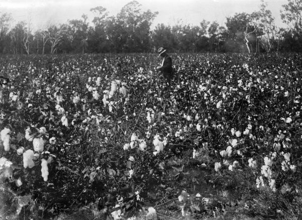 Harvesting cotton, probably in the U.S.A. Date: early 1930s