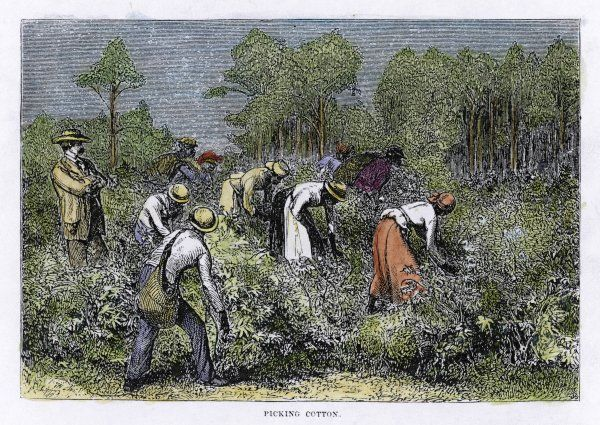 Picking cotton in the southern United States