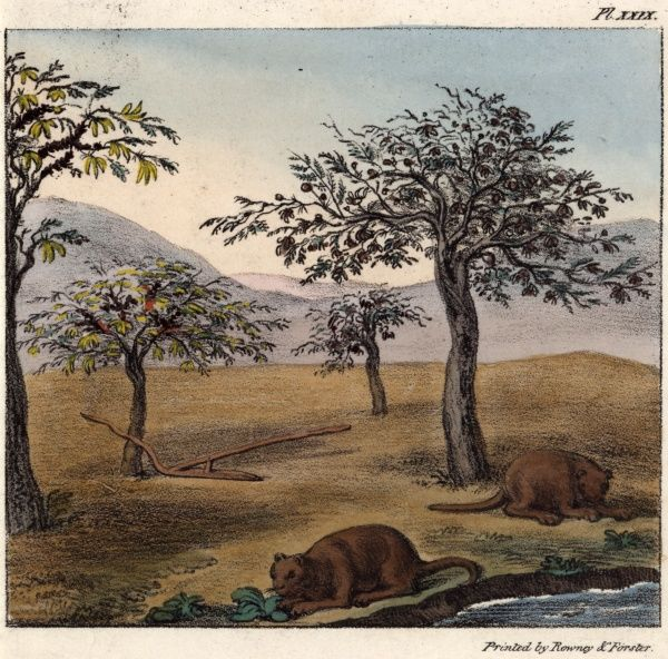 A pair of coypu in a landscape of carob acacia trees in Chile, South America.  1824
