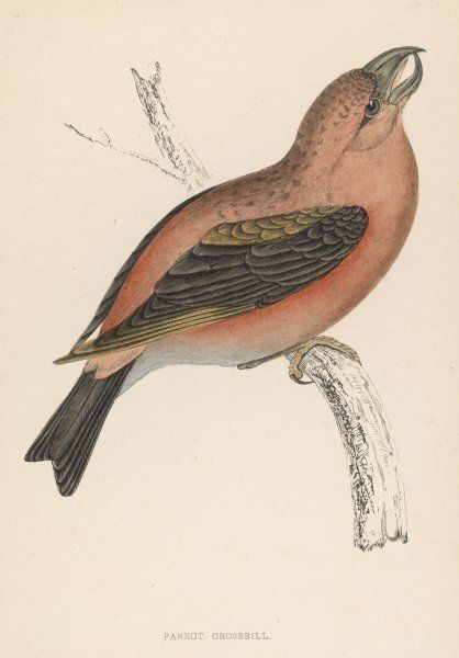 (Loxia curvirostra) This was formerly named the Parrot Crossbill (Loxia pityopsittacus) but was later recognised as a simple crossbill variant